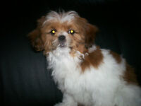 1 left shih tzu female