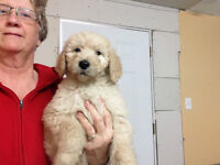 Goldendoodle puppies ready now