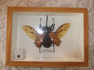 Real Collectible Insect, Winged Beetle