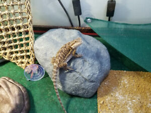 6/7 month old Citrus Bearded Dragon