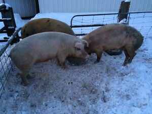 Open sows and butcher pigs