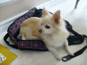 Chihuahua Missing!! ***CASH REWARD***