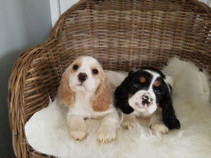 2 Left!! Beautiful Male American Cocker Spaniel Puppies!
