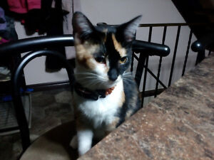 Cleo - Lost Female Cat - Calico Shorthair