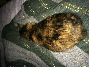 Wanted: Manx Cat (born with no tail)