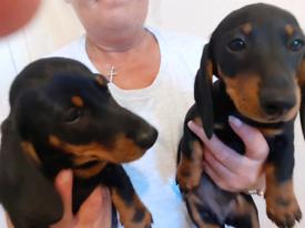 Dashhound puppies
