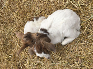 Baby Goats for Sale!