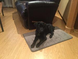 Beau Labrador Mâle noir pur race non enrégistré à vendre