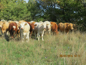 Bred first calf heifers Kitchener / Waterloo Kitchener Area image 9