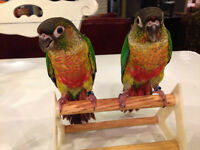 BB Conure Joue Verte Yellow Sided et Turquoise