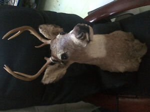 Mount deer head with small antlers. Great for rec room or den