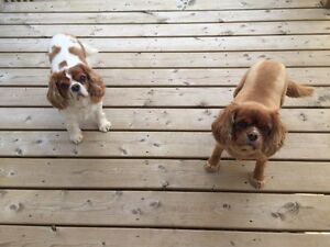 King Charles Cavaliers for good caring home