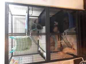 3 descented, fixed, ferrets & their huge cage! Asking 350 OBO