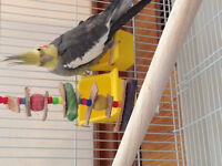 2 Cockatiel's with CAGE/TOY/FOOD/WATER Containers