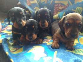 Dachshund in Wales | Dogs & Puppies for Sale - Gumtree