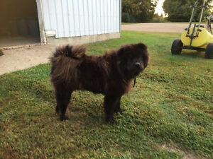 Black chow for sale