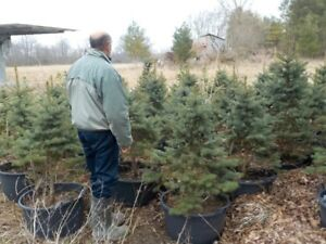 Blue Spruce for Sale