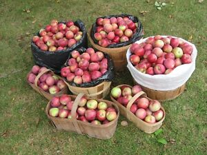 Feed APPLES/Grounders or Organic Eating apples