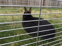 Netherland dwarf female rabbit for sale
