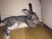 Giant rabbit house trained free to good home very sad to see go