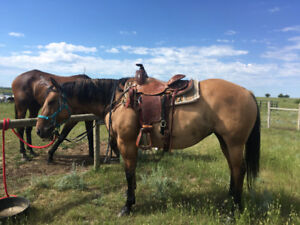 Dunn Mare for sale