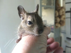 DEGUS FROM SOUTH AMERICA UP FOR ADOPTION.