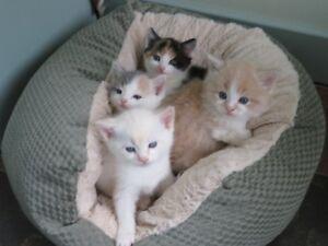 3/4 Ragdoll Kittens
