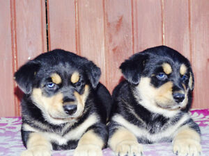 Siberian Husky and Rottwieler cross puppie(blue eyes)s