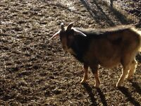 Billy goats ready to breed