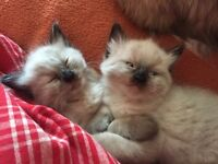 Ragdoll kitten male seal colourpoint