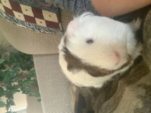 guinea pigs and cages