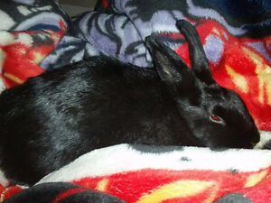 2 year old female all black rabbit, with cage & all accessories
