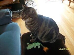 FREE part bengal femal spayed cat
