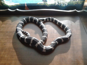 California King Snake