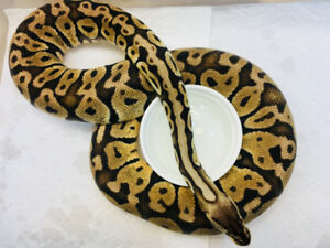 Ball Pythons - Adults Male and Female.