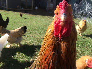 **SOLD ** Beautiful Icelandic Chickens (Heritage Breed)