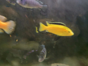 "4"" yellow lab cichlid labodochromis"
