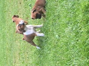 Purebred Boxer Puppies - Only 3 Left