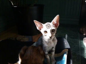 Chatons oriental shorthair