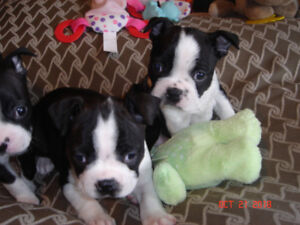 BOSTON TERRIER PUPPIES - Only 2 Boys Remaining !