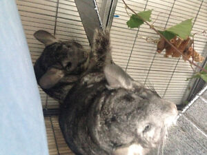 Two female chinchillas with cage and accessories