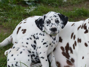 Dalmatians Puppy CKC registered