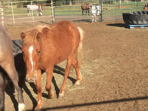 2 year old welsh pony filly
