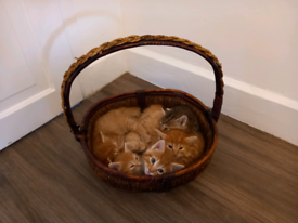 Pedigree Cross kittens