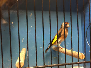 Lots canaries European gold finches and mules for sale