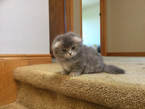 Scottish Fold Munchkin kitten for sale