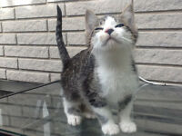 Grey & white male 2 months old kitten tiny & cute