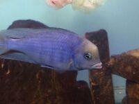 Fish malawi blue dolphin pair Male an female