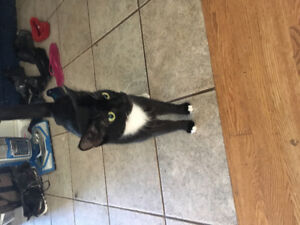 black Siamese and tuxedo Siamesegive your best offer