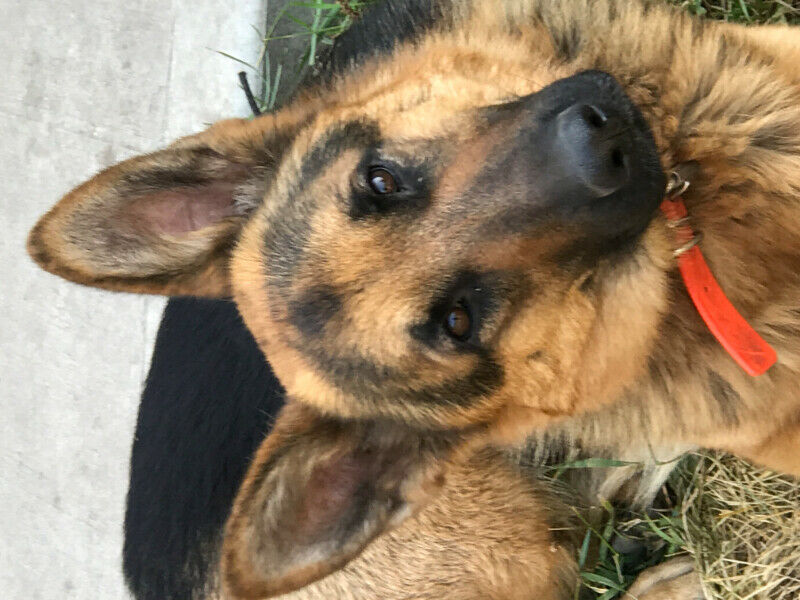 Purebred German Shepherd puppies   Dogs & Puppies for Sale In Hungary